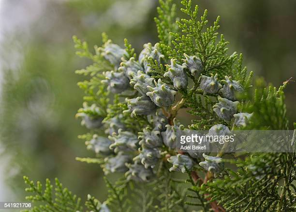 thuja leaves and cones - cypress tree stock pictures, royalty-free photos & images