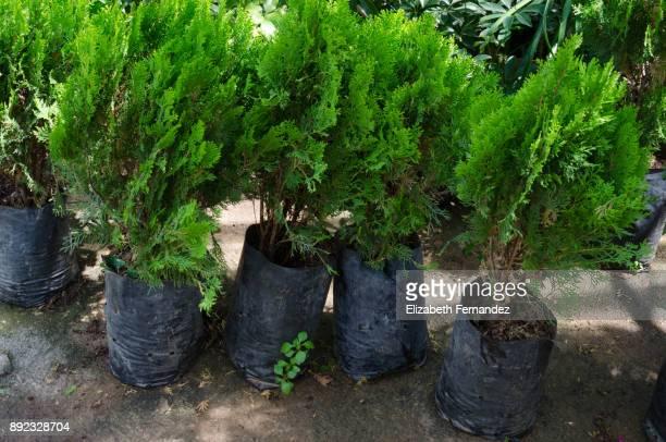 thuja orientalis var. elegantissima (golden tip arborvitaw), in bags to cultivated - barrväxter bildbanksfoton och bilder
