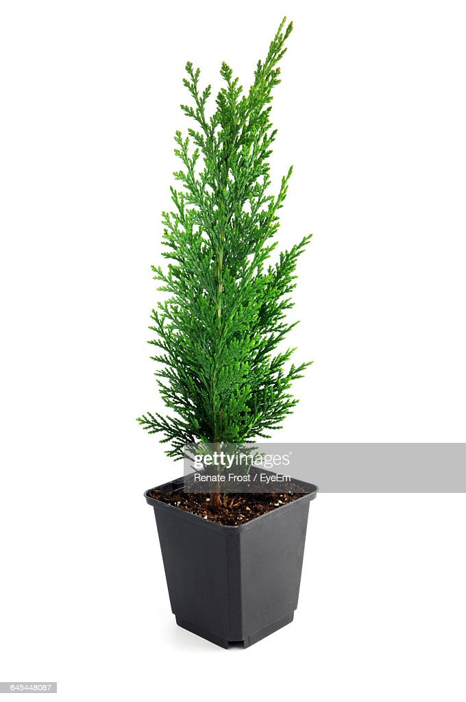 Thuja seedling in a flowerpot isolated on white background : Stock-Foto