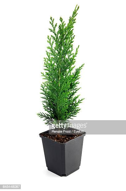 Thuja seedling in a flowerpot isolated on white background