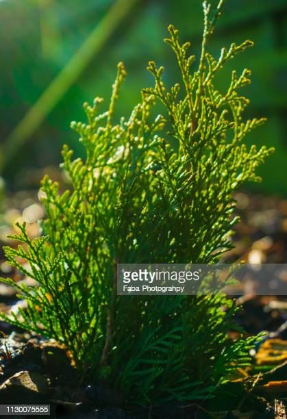 Thuja seedling