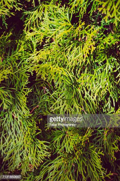 thuja tree - wachstum stock pictures, royalty-free photos & images