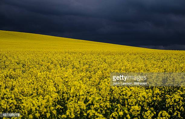 Thunder clouds over yellow rapeseed field