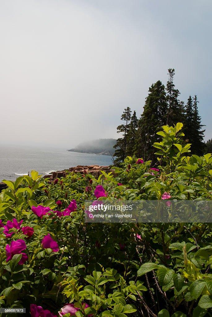 Thunder Hole Roses : Stock Photo