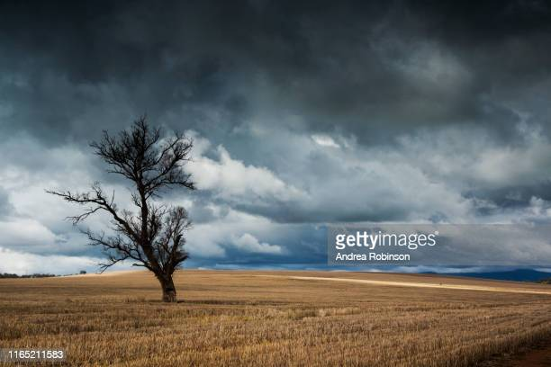 thunderstorm approaching a lone tree in a golden agricultural field, junee, country nsw, australia - wagga wagga stock pictures, royalty-free photos & images