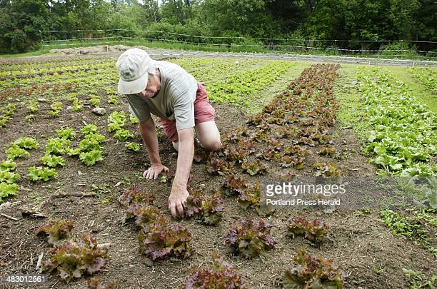 Richard Rudolph weeds a row of red leaf lettuce at Rippling Waters Farm in Standish The nonprofit farm uses community supported agriculture to create...