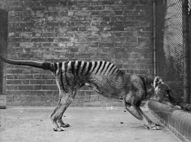 A thylacine or 'Tasmanian wolf', or 'Tasmanian tiger'...