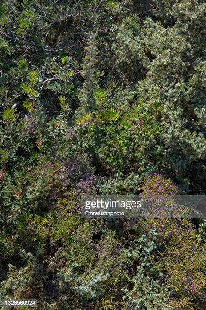 thyme among wild plantation in aegean turkey. - emreturanphoto stock pictures, royalty-free photos & images