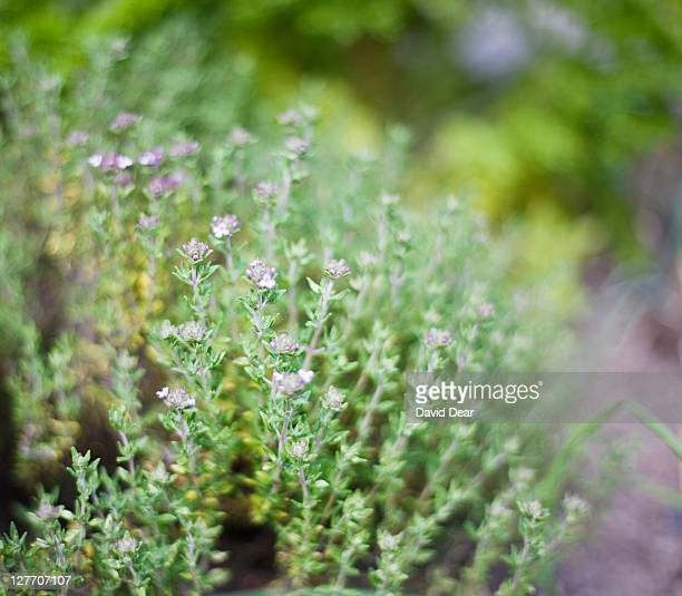 thyme (thymus vulgaris), close-up - thyme stock pictures, royalty-free photos & images