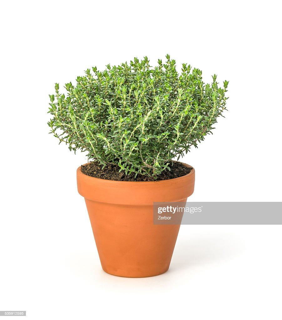 Thyme in a clay pot : Stock Photo