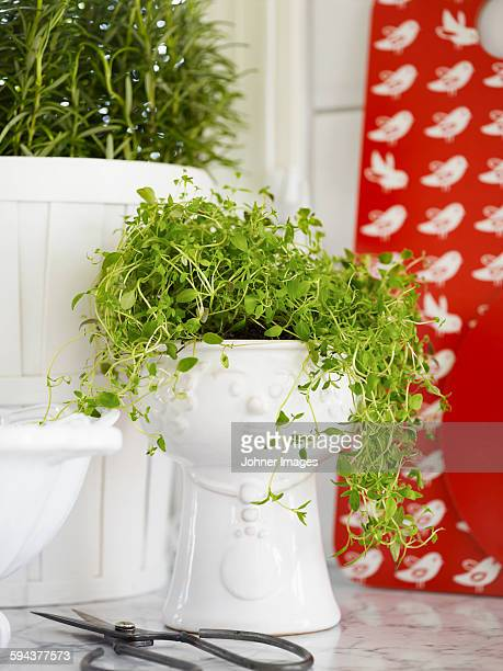 Thyme in white pot