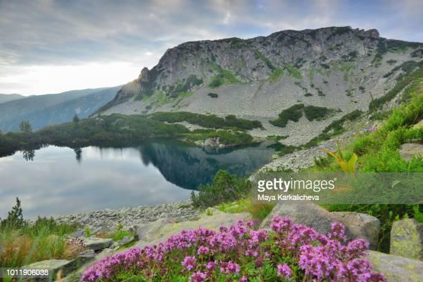 thyme mountain herb by a mountain lake, pirin mountain, bulgaria - pirin national park stock pictures, royalty-free photos & images