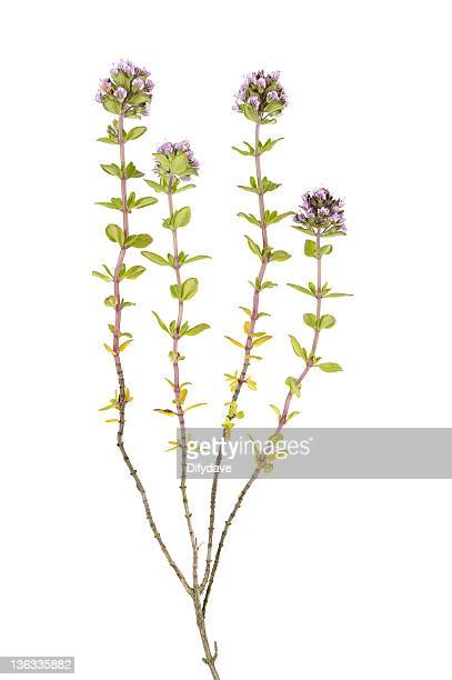 thyme plant isolated on white - thyme stock pictures, royalty-free photos & images