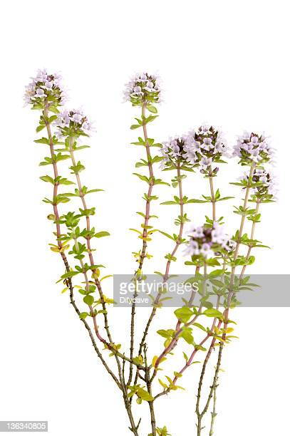 Thyme Plant Isolated On White