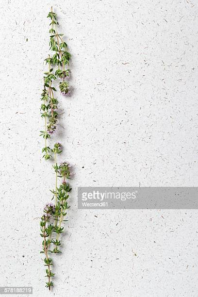 Thyme, Thymus vulgaris, flowering