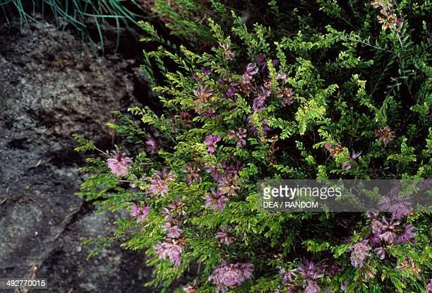 Thymeleaf Melaleuca Myrtaceae
