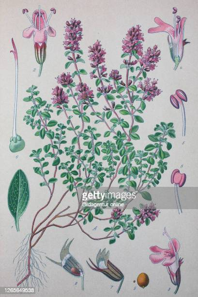 Thymus serpyllum, Breckland thyme, Breckland wild thyme, wild thyme, creeping thyme, elfin thyme, species of flowering plant in the mint family...