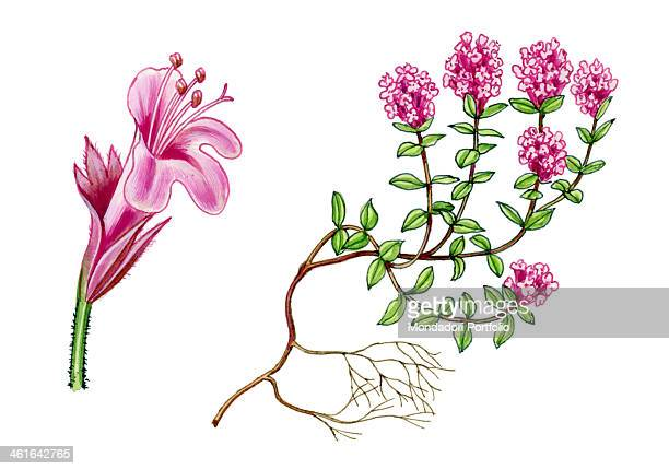 Thymus Serpyllum by Giglioli E 20th Century ink and watercolour on paper Whole artwork view Drawing of the plant and the flower of the Thymus...