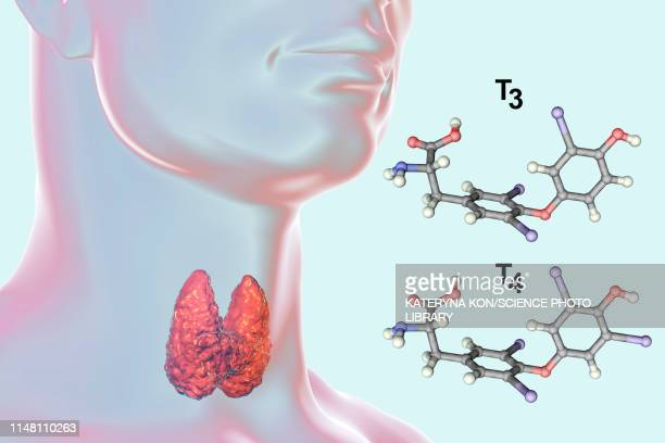 thyroid gland and thyroid hormone molecules, illustration - thyroid gland stock pictures, royalty-free photos & images