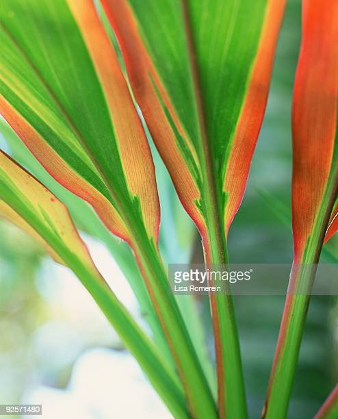 Ti plant leaves