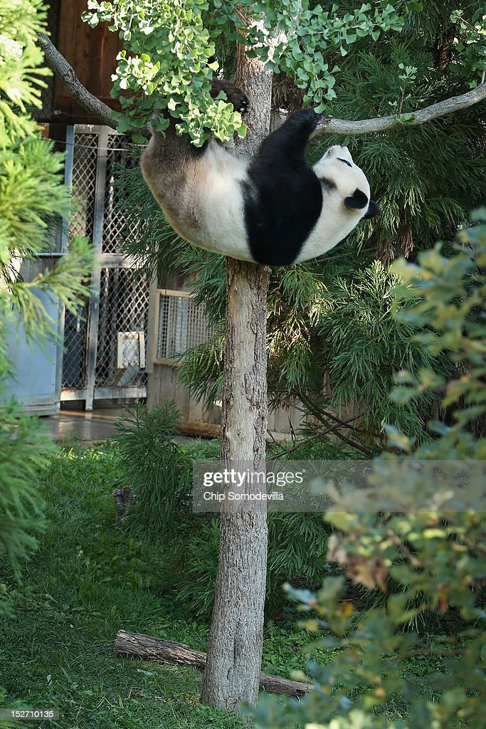 Tian Tian, the 275-pound male giant panda at the Smithsonian National Zoological Park, climbs a tree in his outdoor enclosure the day after the death of a six-day-old panda cub at the zoo September 24, 2012 in Washington, DC. The preliminary necropsy of the 4-ounce female cub did not immediately reveal the cause of death but zoo Chief Veterinarian Dr. Suzan Murray said the initial exam made it appear the cub was not crushed by her mother.