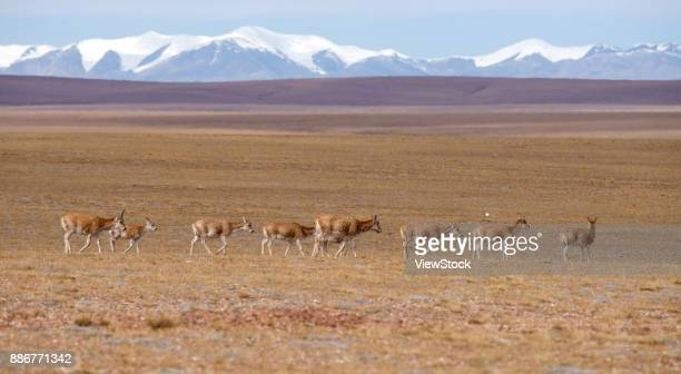 tibetan antelope of hoh xil,qinghai province,china - qinghai province stock photos and pictures