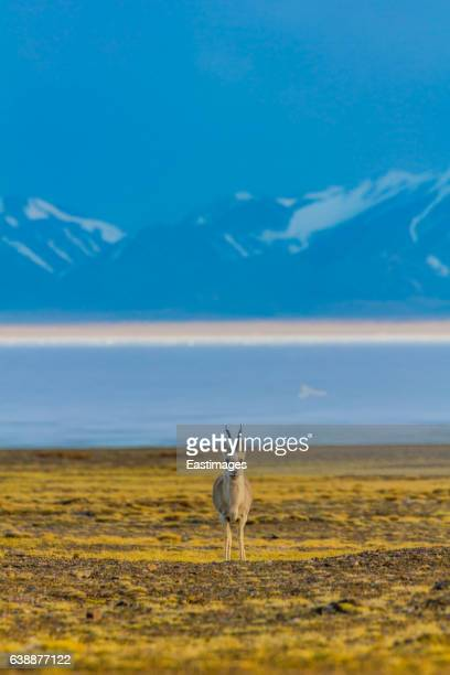 tibetan argali on qinghai-tibet platea nearby hala lake,china. - argali fotografías e imágenes de stock