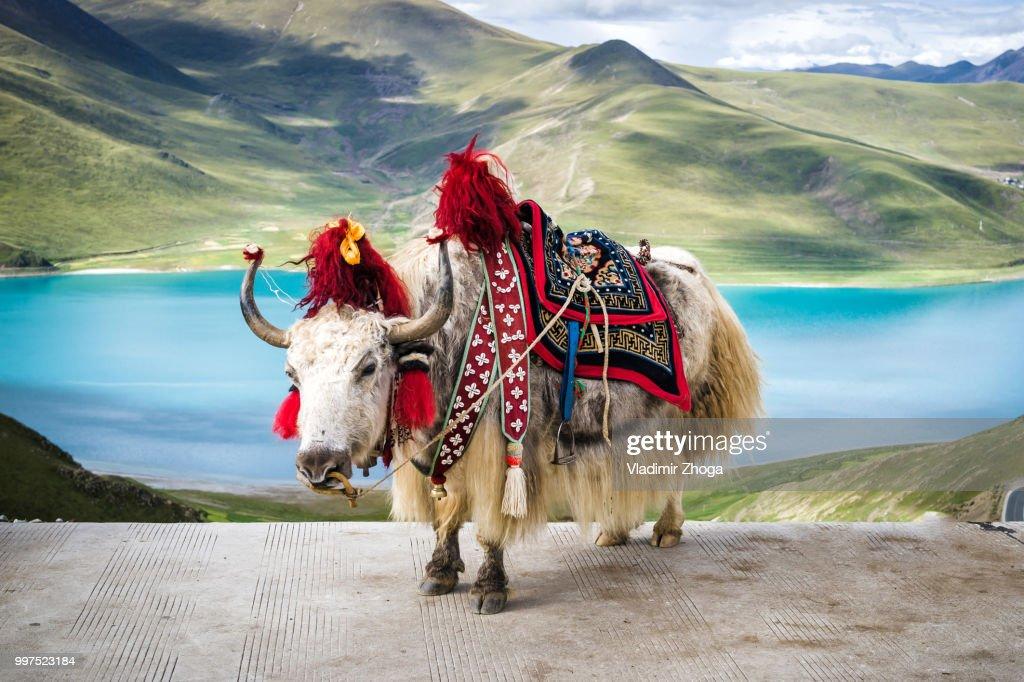 Tibetan colored yak : Stock Photo