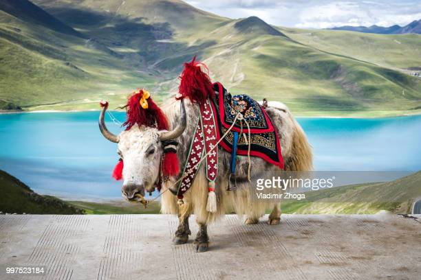 tibetan colored yak - yak stock pictures, royalty-free photos & images
