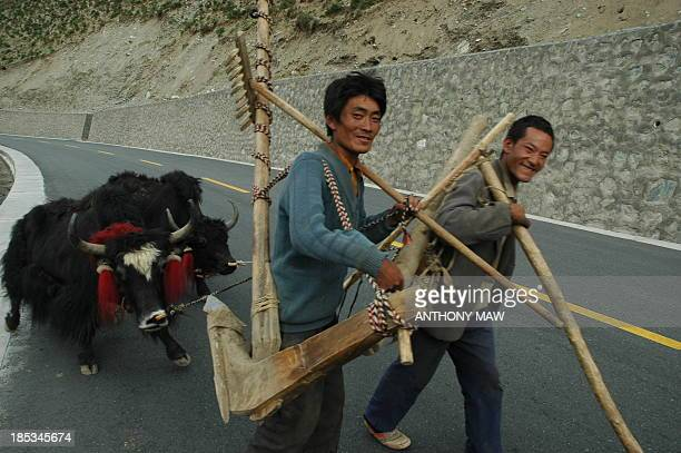 Tibetan farmers pulling along their reluctant yaks along the modern fast and smooth Chinese Tibet-Nepal Highway G318 somewhere in the Himalayan...