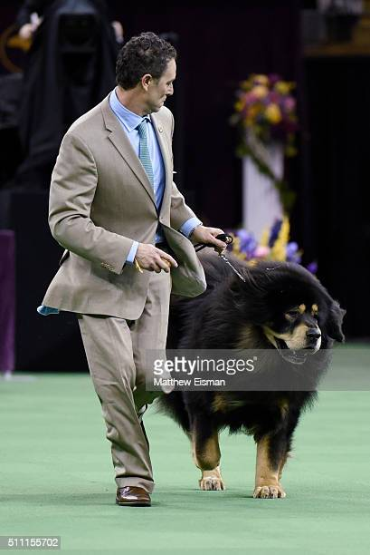 A Tibetan Mastiff competes in the Working Group during the second day of competition at the 140th Annual Westminster Kennel Club Dog Show at Madison...