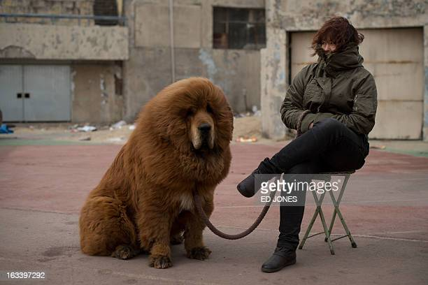 A Tibetan mastiff dog is displayed for sale at a mastiff show in Baoding Hebei province south of Beijing on March 9 2013 Fetching prices up to around...