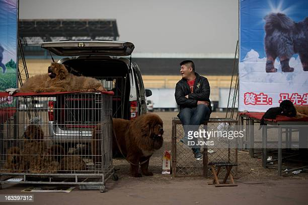 Tibetan mastiff dogs are displayed at a mastiff show in Baoding Hebei province south of Beijing on March 9 2013 Fetching prices around 750000 USD...