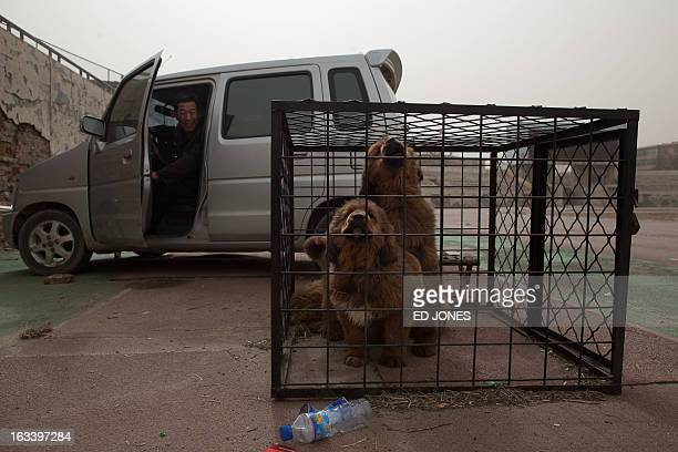 Tibetan mastiff dogs are displayed in a cage at a show in Baoding Hebei province south of Beijing on March 9 2013 Fetching prices up to around 750000...