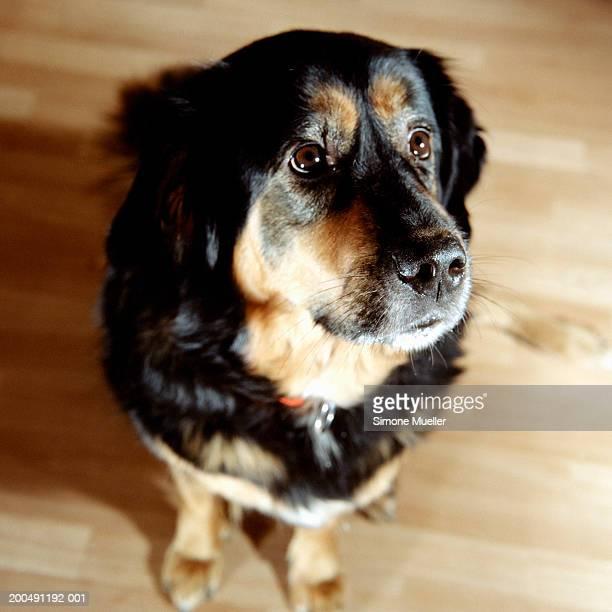 tibetan mastiff (do-khyi) - tibetan mastiff stock photos and pictures