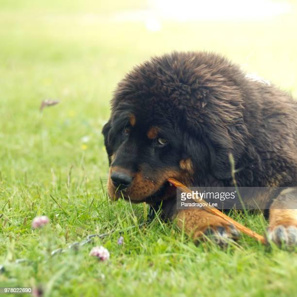 tibetan mastiff - tibetan mastiff stock photos and pictures