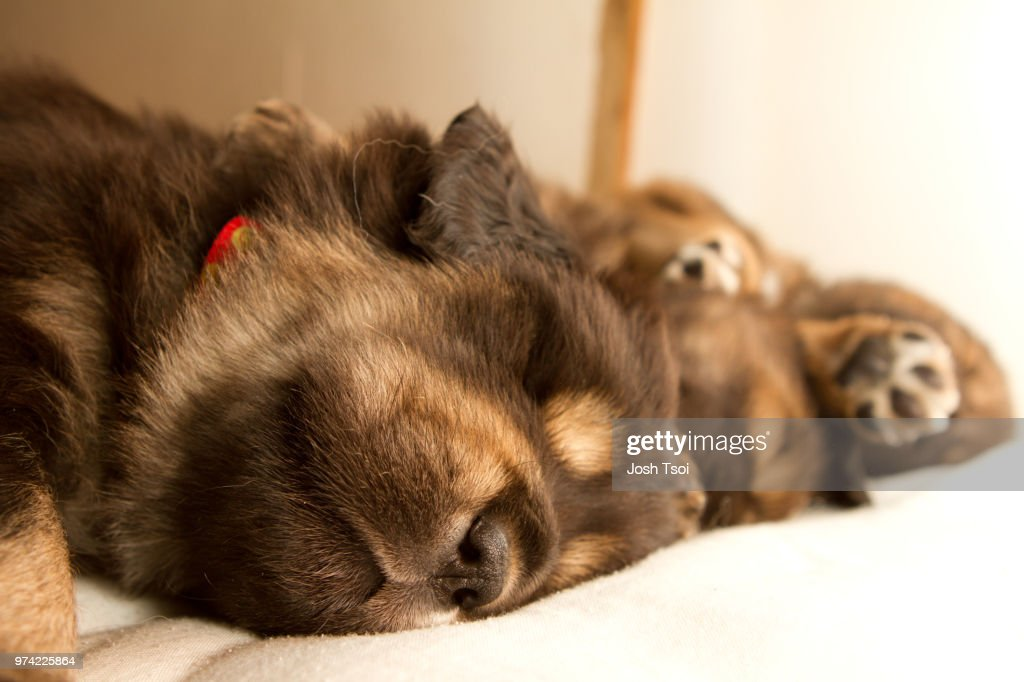 Tibetan Mastiff Puppies Stock Photo | Getty Images