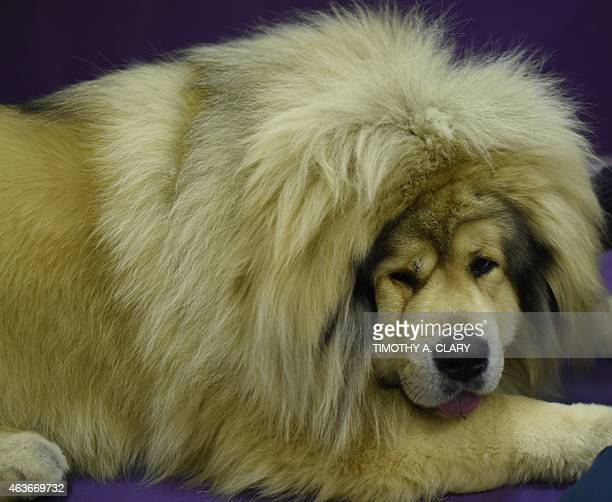A Tibetan Mastiff rests in the benching area at Pier 92 and 94 in New York City on the 2nd day of competition at the 139th Annual Westminster Kennel...