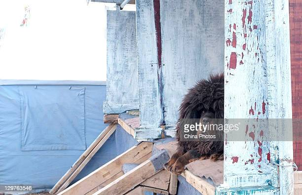 Tibetan Mastiff rests on a stand for display at a Tibetan Mastiff breeding center in Jiegu Township on October 16, 2011 in Yushu County of Qinghai...