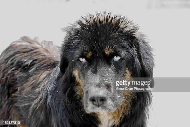 tibetan mutt - tibetan mastiff stock photos and pictures