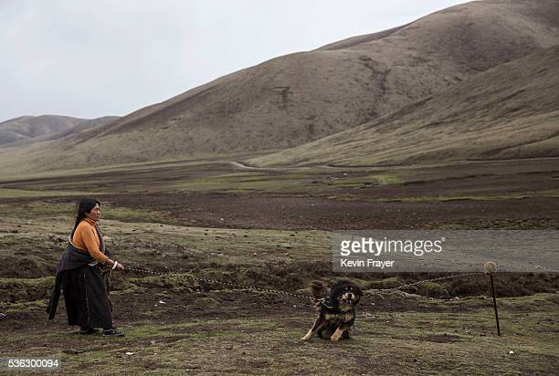 Tibetan nomad holds her dog at a temporary camp for picking cordycep fungus on May 22 2016 on the Tibetan Plateau near Sershul in the Garze Tibetan...