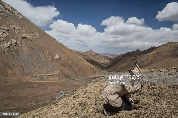 Tibetan nomad swings a pick as he finds cordycep fungus at high altitude on May 232016 on the Tibetan Plateau near Zadoi in the Yushu Tibetan...
