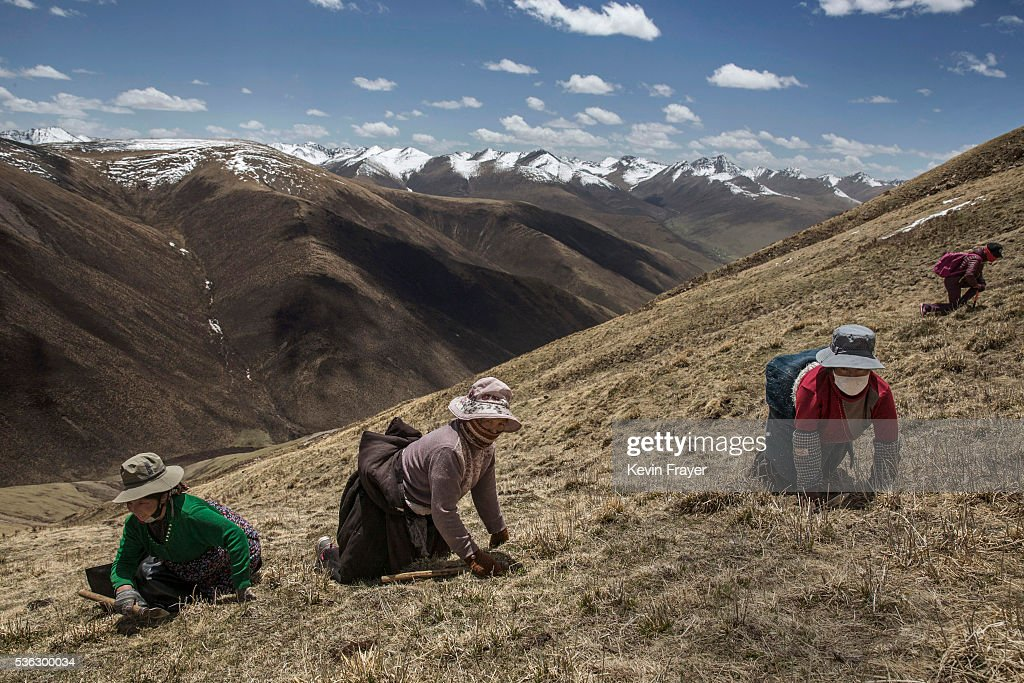 Tibetan nomads crawl on their knees on a hillsode at high altitude as they harvest cordycep fungus on May 19, 2016 near Yushu on the Tibetan Plateau in the Yushu Tibetan Autonomous Prefecture of Qinghai province. The Tibetan Plateau is home to the cordyceps fungus, also known as caterpillar fungus, is a parasitic spore that thrives in high altitude, low temperature conditions on the Tibetan plateau. While not historically a part of Tibetan culture, cordyceps are a prized ingredient of traditional Asian medicinal treatments that purportedly heal ailments ranging from asthma to impotence to cancer. Demand in China alone has created a booming economy for what Tibetans call yartsa gunbu, or summer grass, winter worm, which sells for up to $50,000 US per pound. As the state-supported cordyceps industry has developed, Tibetans who rely primarily on farming and herding have turned to the weeks-long harvest as a means of earning income to last through the year. The annual gold rush has transformed parts of rural Tibetan areas, generating about 40% of the local economy. However, environmentalists increasingly warn that over-harvesting of cordyceps carries the cost of degradation to mountain grasslands that are essential for yak and cattle grazing. Due to below average rainfall the 2016 harvest is expected to be the lowest on record with many harvesters reporting yields way lower then expectations.