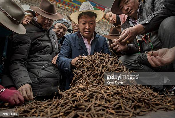 Tibetan nomads examine cordycep fungus for sale at a market on May 22 2016 on the Tibetan Plateau in Yushu town in the Yushu Tibetan Autonomous...