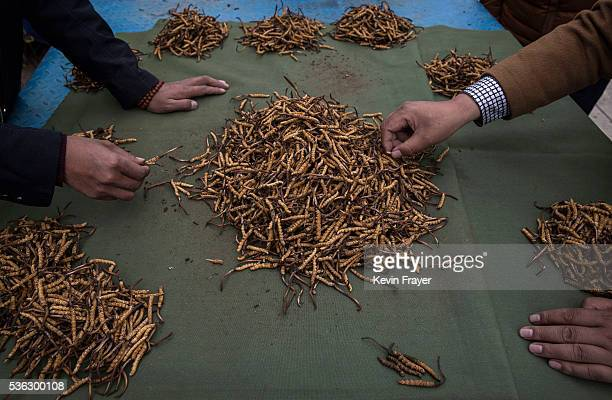 Tibetan nomads inspect cordycep fungus for sale at a market on May 22 2016 on the Tibetan Plateau in Yushu town in the Yushu Tibetan Autonomous...