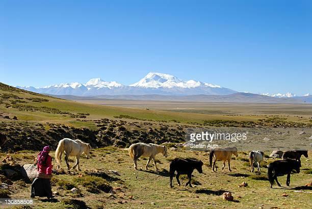 Tibetan nomads, shepherdess driving horses across the wide plateau, Kailash Kora, snow-covered mountain of Gurla Mandhata, 7694 m altitude, Himalayas, Western Tibet, Tibet Autonomous Region, People's Republic of China, Asia
