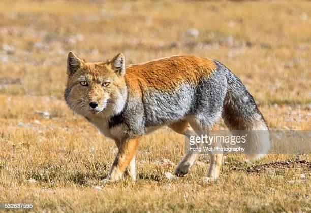 tibetan sand fox, nagqu, northern tibet - tibet stock pictures, royalty-free photos & images