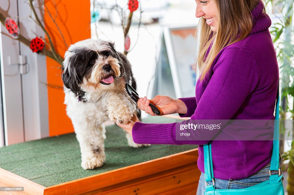 Tibetan Terrier in pet store...cute woman owner is brushing him : Stock Photo