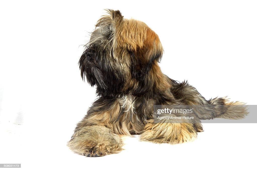 Tibetan terrier : Stock Photo