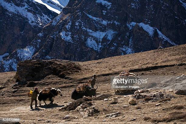Tibetan Villagers From Nar Haul Firewood With Their Yaks Nar Phu Trek Annapurna Conservation Area Nepal